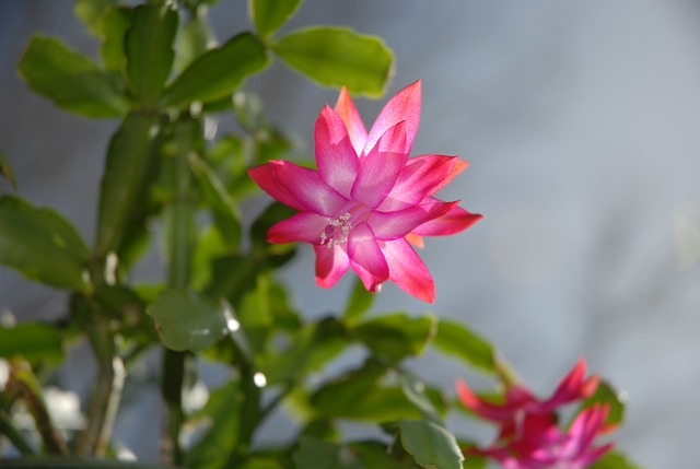 Christmas_Cactus_with_Pink_Flowers